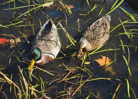 Two ducks float near the shore line of the 165 acre horseshoe shaped lake that surrounds the trails of Frances Slocum. Frances Slocum is a 1,035 acre state park in Luzerne County.