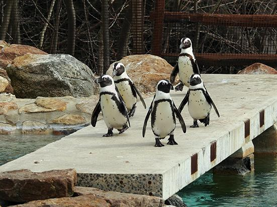 A group of penguins show off their moves for the crowd at the afternoon feeding session.